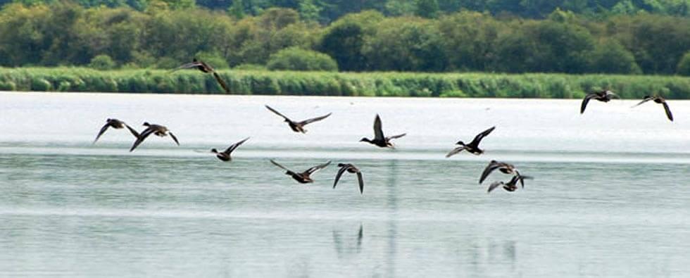 etang canard chasse